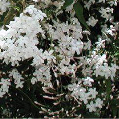cropped-miliana-yasmine.jpg