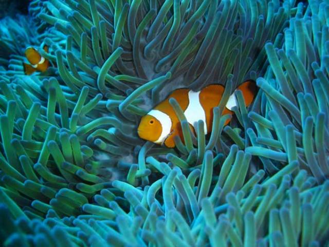 Anémone et poisson clown GB