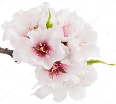 Fleurs d'amandier2