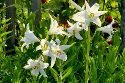 Lys blanc 1
