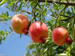 fruits-du-grenadier