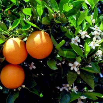 la-fleur-d-oranger
