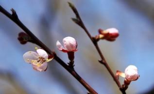 Bourgeons de fleurs d'abricot