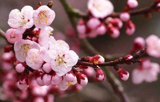Fleurs de cerisier Pinterest